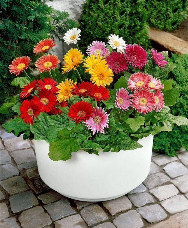 Гербера (50 фото цветов): виды и правила ухода http://happymodern.ru/gerbera-42-foto-cvetov-vidy-i-pravila-uxoda/ Разноцветные герберы в аккуратном садовом горшке