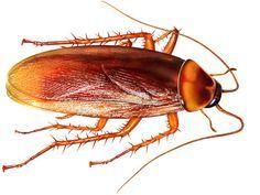 Come eliminare blatte e scarafaggi in modo naturale. Scopri cosa fare per prevenire ed allontanare le blatte e gli scarafaggi dalla vostra casa con metodi naturali senza usare gli insetticidi.