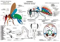 Stunning Lehrtafel Anatomie der Honigbiene Werbeschilder und Lehrtafeln Bienen Ruck GmbH Das Imkerfachgesch ft