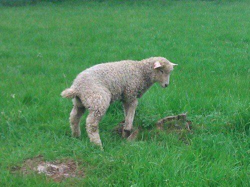 Kuzuların keyifle, özgürce gezdiği alabildiğince büyük çimenlikler İngiltere'nin her yerinde. Bu kadar yeşil ve güzel memleket dünyada çok az var. Bizimle tek farkı, bu blog 30 yıl sonra okunduğunda İngiltere aynı durumda olacak. Bizim ülkemiz ise çorak bir halde… Daha fazla bilgi ve fotoğraf için; http://www.geziyorum.net/oxfordshire-gloustourshire/
