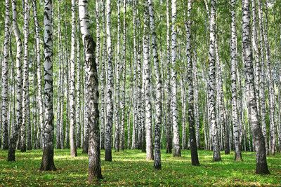 Autumn Birches with sun rays