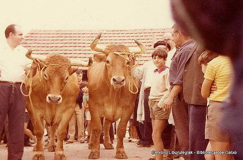 Paseo y exhibición de bueyes en Getxo, 16 de agosto de 1972. Los bueyes se llamaban Galán y Lindo y pesaron 1571 kg. en canal. Foto tomada en el patio del matadero municipal (Cedida por Santos Cajigas) (ref. 03424)
