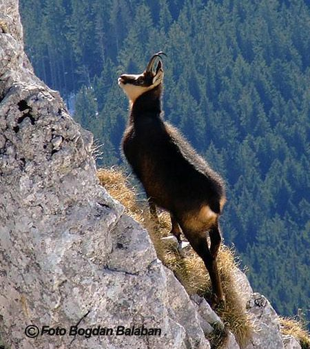 "Capra Neagra, Carpathian Chamois, or ""black mountain goat"" - rarest Chamois in the world, <9000 remain...hunted to near extinction."