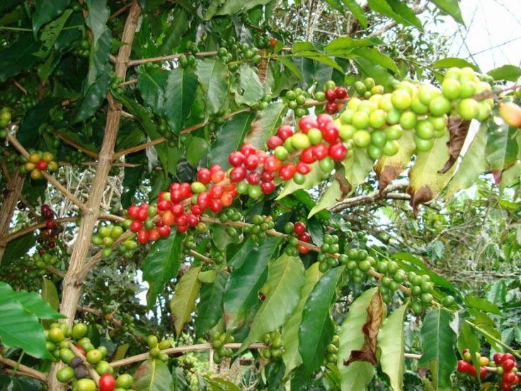 Kona Coffee Plantation, Kona, Hawaii