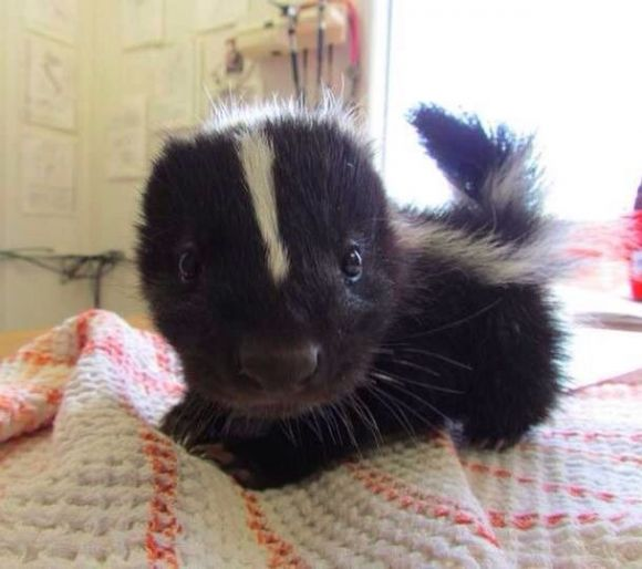 Oh for goodness sake, now I want a baby skunk. Thanks Pinterest.