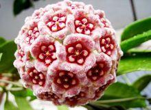 promocin nuevo hoya semillas semillas en macetas de flores hoya carnosa flores