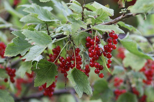 Les arbustes à petits fruits sont une solution esthétique et pratique pour avoir des fruits frais facilement. Découvrez les différentes variétés.