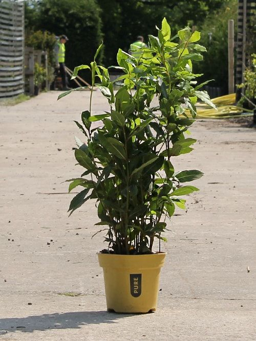 Bay Laurel (Laurus nobilis) - Hedges Direct UK
