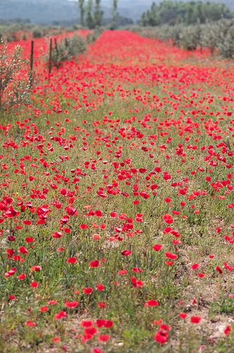 Provençal poppies photographed by Veronika Belotserkovskaya #flower #poppy #red #provence #belonika