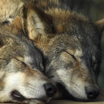 Sleeping Wolves ♥ wolves mate 4 life not like some humans a wolf is in every dog dog is in