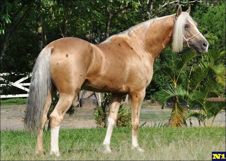 Palomino Mangalarga horse with Bend Or spots