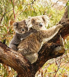 Did You Know - The Koala - ( For Americans) Koalas are not bears.** Please share