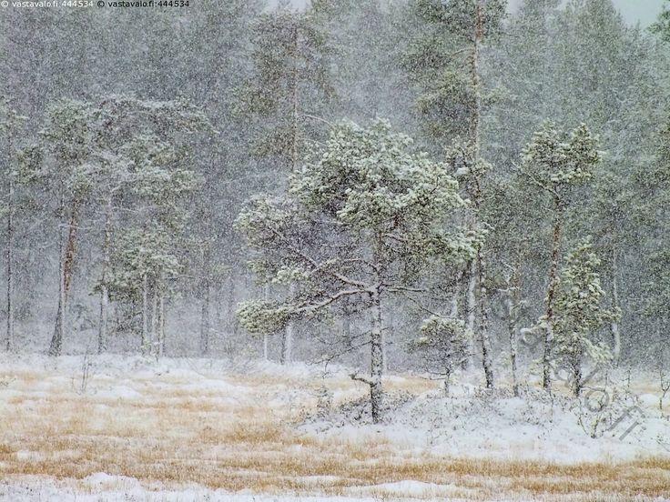Tuiskuinen syyspäivä - lumituisku lumisade ensilumi syyspäivä harmaa hämärä metsä suo luonnontilainen suopuusto kitukasvuinen suomänty aluskasvillisuus lokakuu Puolanka Kainuu