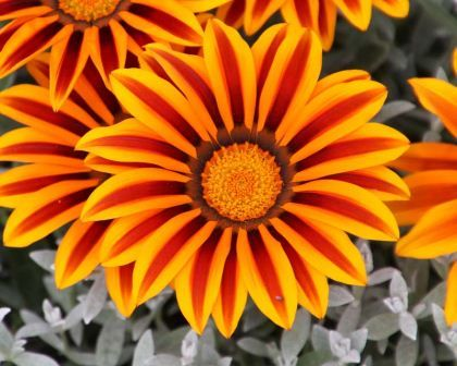 Gazania hybrids: A clump forming annual that creates a carpet of long leaved, deeply lobed, slivery grey foliage over which short stems bear open faced daisy type flowers.  The flowers often have contrasting stripes or spots to make them even more arresting. They need full sun and will close-up temporarily when the clouds come over or when it rains.  Spectacular on rockeries and like coastal conditions.