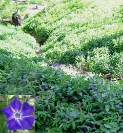 Vinca Major. Finally, a shade-loving ground cover that actual flowers on occasion! Could mix this with Vinca Minor (favorite!) along the north fenceline and on the west side of the backyard around the shed.