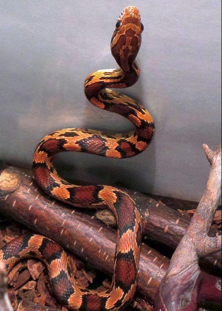 Capone a male Okeetee corn snake.