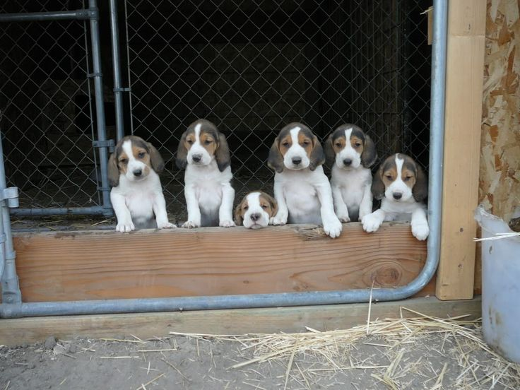 1000 Images About Plotts And Other Hounds On Pinterest
