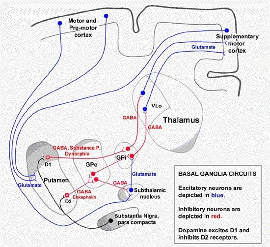 basal ganglia circuit - Google Search