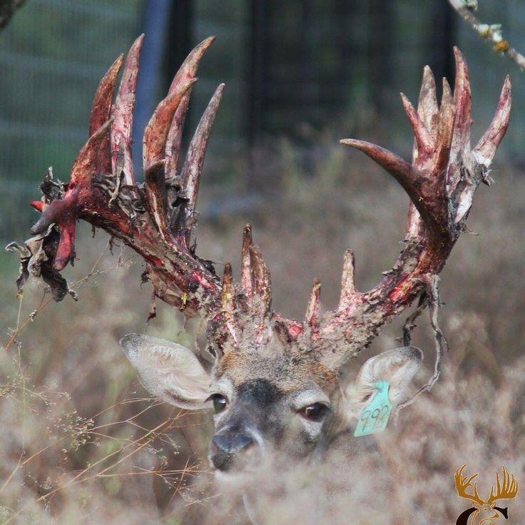 Extremely Rare Real Unicorn Deer - Licorne en Finlande - Einhorn...