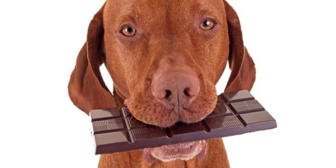 Chocolate Toxicity What To Do If Your Dog Eats Chocolate Dog