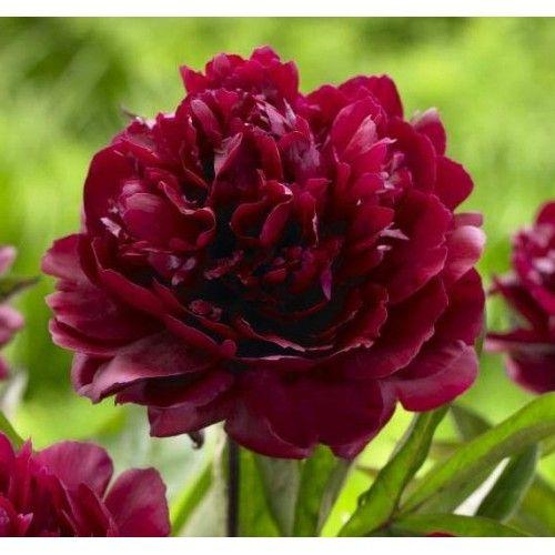Peony Black Beauty Very Dark Red Black Peonies Garden