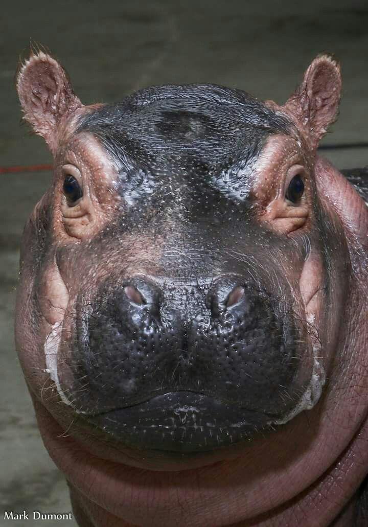 Best 25 Hippopotamus Ideas On Pinterest Water Animals