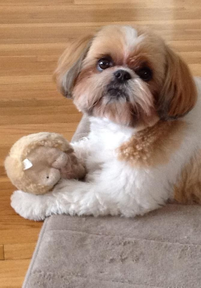 With her toy. ==> visit http://www.amazingdogtales.com/gifts-for-shih-tzu-lovers/