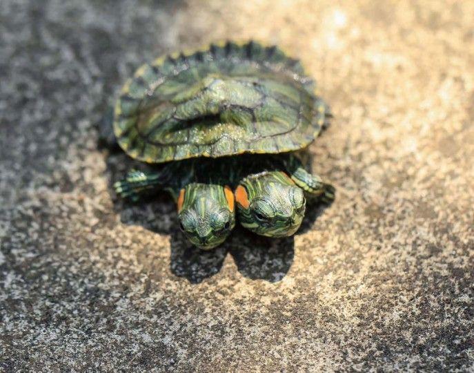 La vie avec deux têtes: cette mignonne petite bestiole a été donnée par son éleveur. Car cette tortue de Floride de six mois est née avec deux têtes! Son nouveau propriétaire Jeo Armansary n'en a que faire. Il aime le reptile! Les deux têtes de la tortue sont parfaitement fonctionnelles. Ses deux bouches mangent régulièrement, et ses deux paires d'yeux suivent avec intérêt ce qui se passe dans son environnement, dans la ville indonésienne de Jakarta. Le photographe Tanto Yensen (36 ans) se…