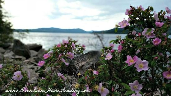 All about the superfood Wild Rose