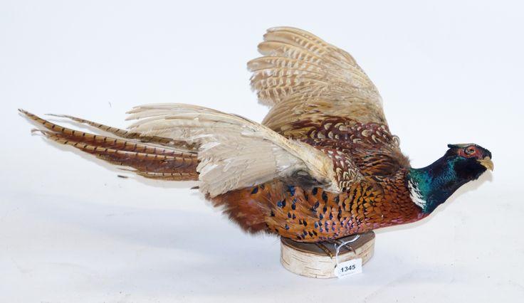 Een opgezette fazant op houten plaat