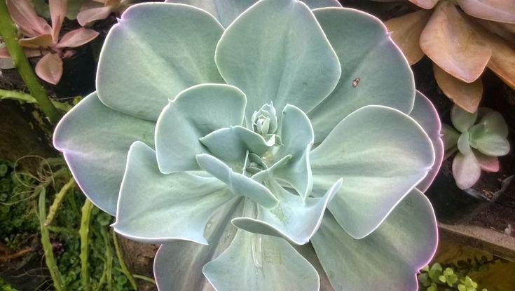 "NOMBRE CIENTIFICO:  Echeveria gigantea  Rose et Purpus  OTROS NOMBRES: ""Flor de Hoja"", Giant Hens and Chicks.          Su Majestad,  Echeve..."
