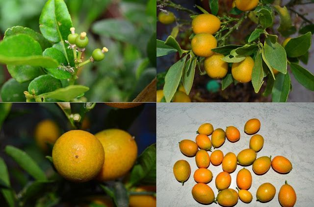 Roots 'n' Shoots: Calamondin: How to Grow – Fruit of the Month