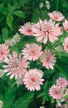 Astrantia -une belle vivace qui fleurit en été #vivace #rose #été #fleur