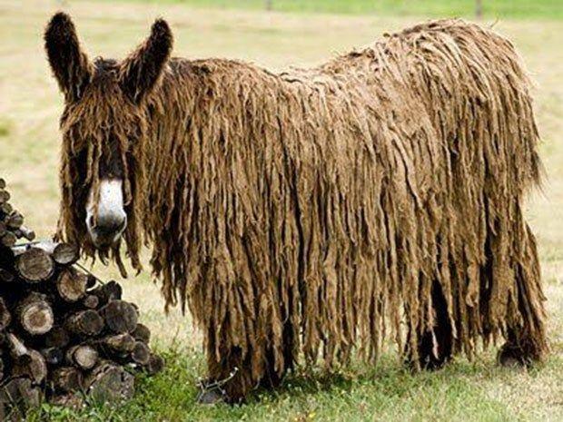 Burro poitou (www.featuredcreature.com)