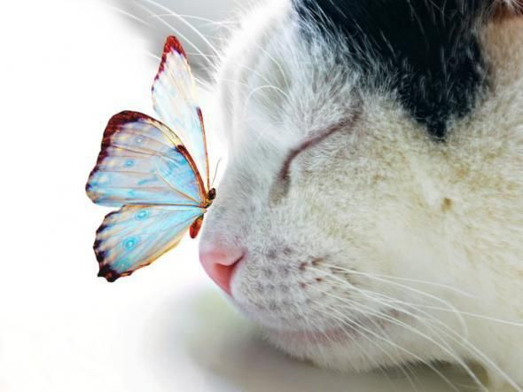 cat with butterfly: Animal Pics, Cute Animal, Kitty Cat, Friends, Beautiful, Sweets Dreams, Kittens, Kittycat, Butterflies Kisses