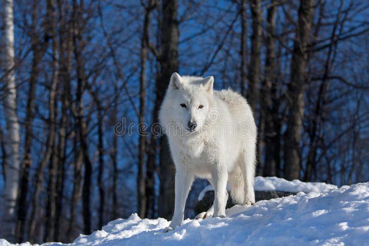 Download Arctic wolf stock photo. Image of single, beautiful, wild - 82989636