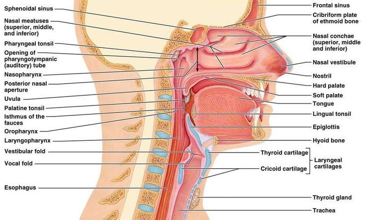 nose diagram to label | Pegi | Respiratory system anatomy