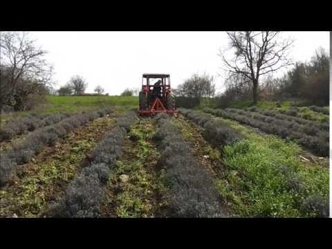 Άνοιξη: Ώρα για ξεχορτάριασμα στο χωράφι λεβάντας (βίντεο, φωτογραφίες) | Lavender Oil in Greece