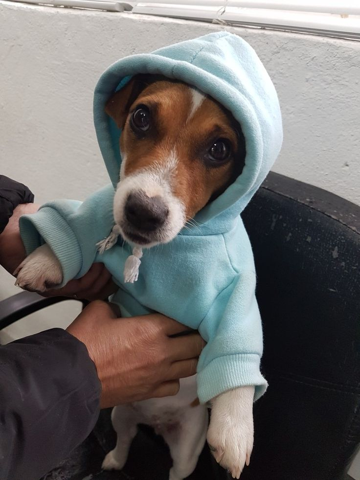 Jack Russell winter Polina