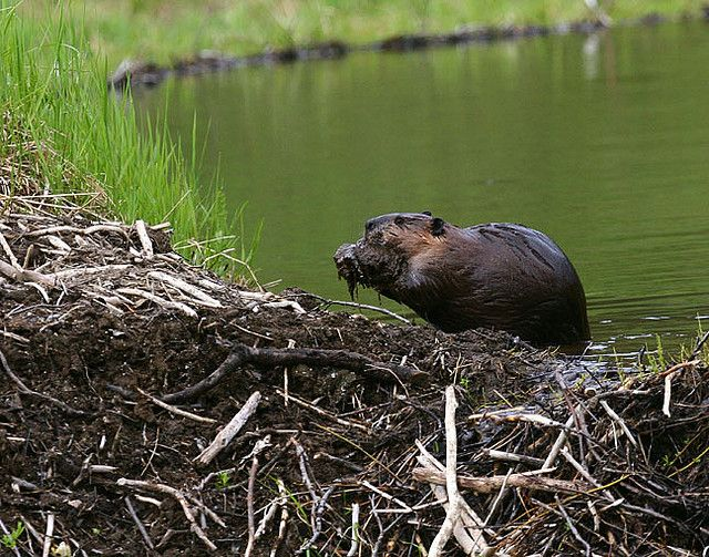 single men in beaver dams A either of two large semiaquatic rodents, castor canadensis of north america or c fiber of eurasia, having thick brown fur, webbed hind feet, a broad flat tail, and sharp incisors used for gnawing bark and felling trees, with which they construct dams and underwater lodges.