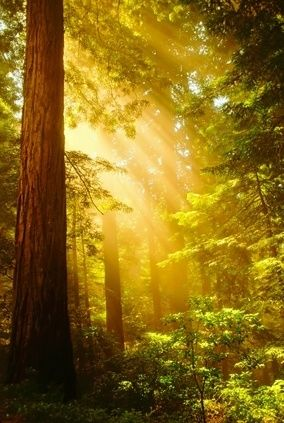 Stunning light & old & new growth trees of the Redwood Forest in Northern California ~ from @ operation redwood  ~ the fragrance of the Redwood Forest is so beautiful that if you have ever experienced it ~ you will never forget it! :)