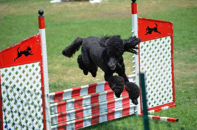Standard Poodle Agility by Wagologie, via Flickr
