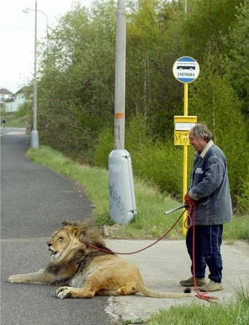 People with Animals that might not be street legal:  In 15 years, the bus had yet to stop for Larry and his seeing-eye lion.