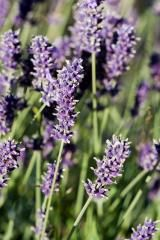 160x-lavender.jpg (160×240)