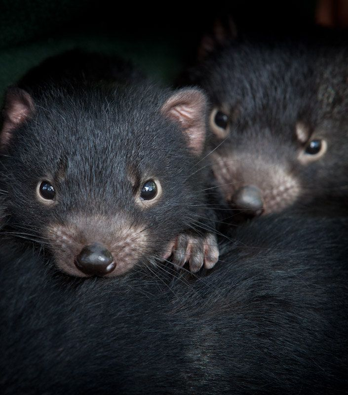 Conservation: Help Save the Tasmanian Devil
