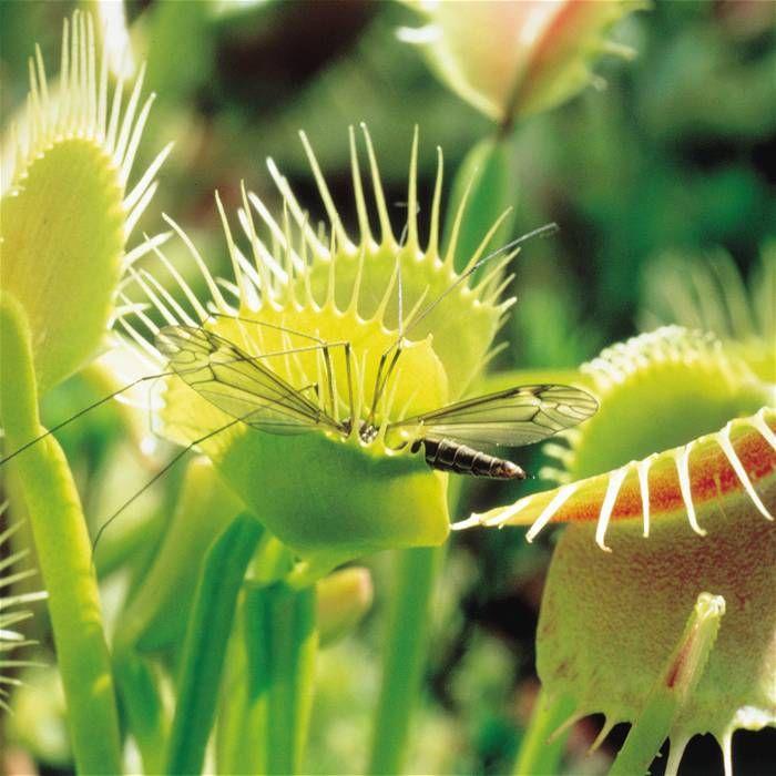 Venus Vliegenval (Dionaea mucipula) - 1 plant 6,95