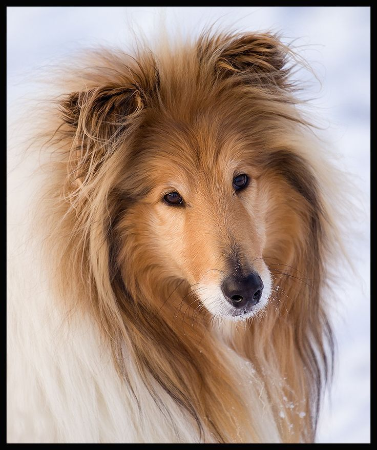 Pin by Mike Barefield on Shelties and Collies | Sheep dog ...