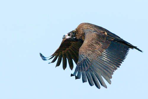 Cinereous Vulture, Gangwha-do, Nikon D2H