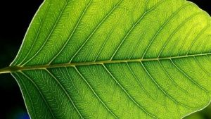Photosynthese: Der Traum vom künstlichen Blatt – TrixiMaus6xy