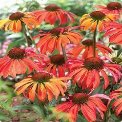 The Echinacea 'Summer Sun' is a brand new hybrid coneflower that blow you away with its intense color. The blooms first open up to a red-orange then slowly lighten to a golden orange. Plants are tall enough to mix into the perennial border growing a little over 3 feet in height but stay within their bounds very well with clumps growing to about 2 feet wide. The brightly colored, fragrant blooms are a butterfly magnet.